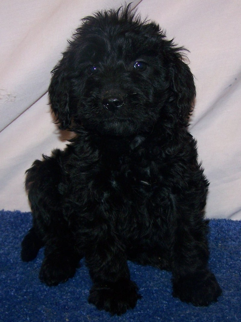 Puppies for sale, Goldendoodle puppy's, Goldendoodles