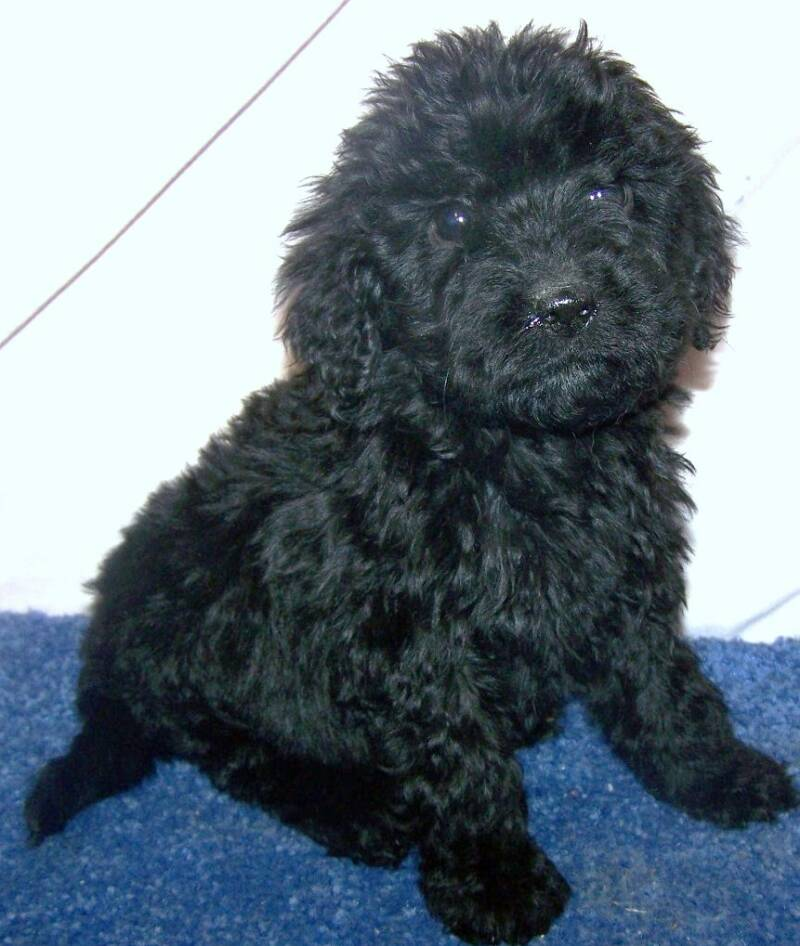 Goldendoodle puppy's for sale, Goldendoodle dogs, Black Goldendoodles