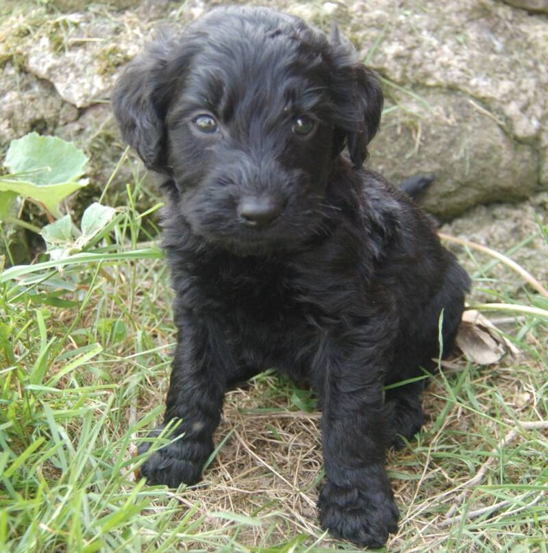 "Golsdndoodles, black, goldendoodle puppy""s for sale"