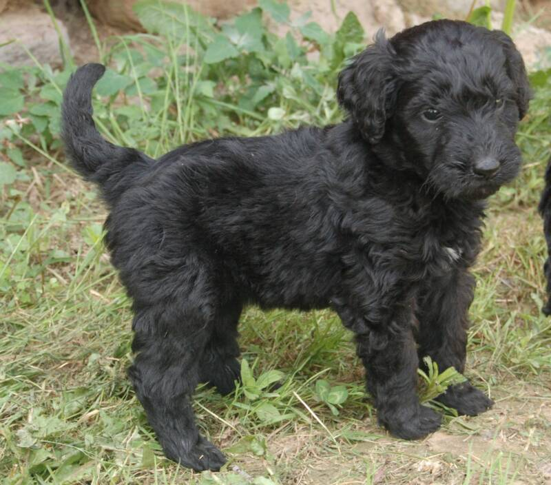 Eaglecross Kennels Goldendoodles, Eaglecross Kennel black Goldendoodles